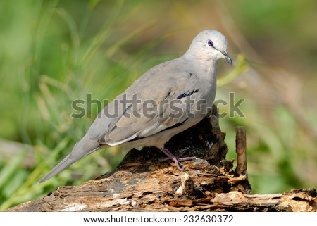 Picui Ground Dove (Columbina picui) perched on a dead tree branch. Patagonia, Argentina, South America. - stock photo
