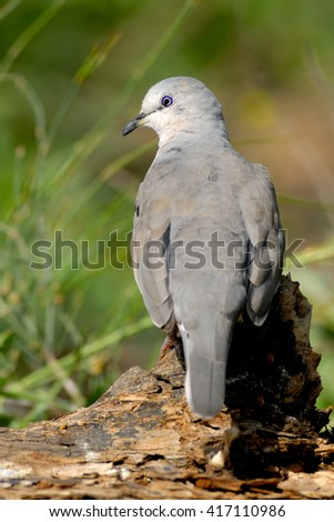 Picui Ground Dove (Columbina picui) perched. Patagonia, Argentina, South America - stock photo