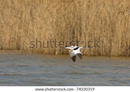 Pied Avocet (Recurvirostra avosetta) in flight - stock photo