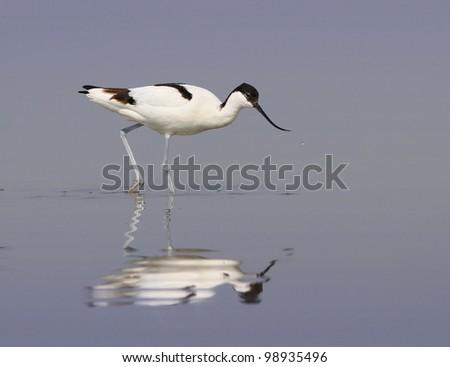 Pied avocet ( Recurvirostra avosetta )  wandering in shallow water - stock photo