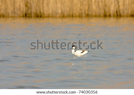 Pied  avocet  standing in the water - stock photo