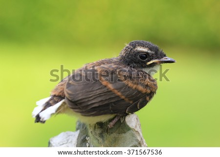 Pied Fantail bird from Thailand background