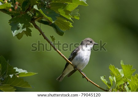 pied flycatcher, female - stock photo