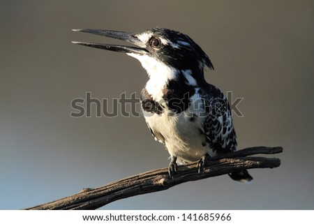 pied kingfisher bird african wildlife migratory birds of the savannah kruger national park south africa - stock photo