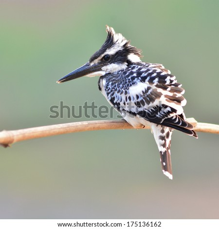 Pied kingfisher bird (Ceryle rudis) perching on a branch, back profile - stock photo