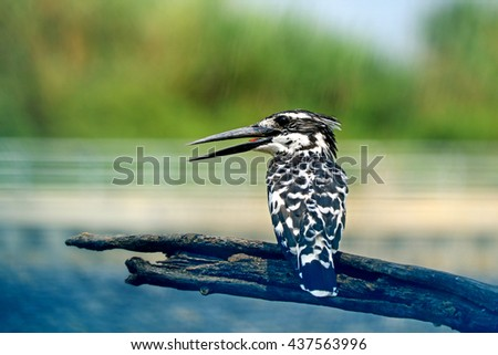 Pied Kingfisher branch - stock photo
