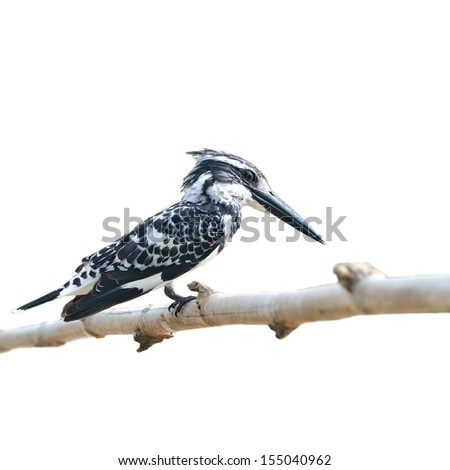 Pied Kingfisher - Ceryle rudis on white background - stock photo