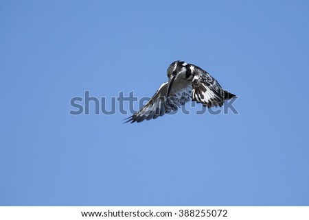 Pied Kingfisher hover in flight to hunt for fish