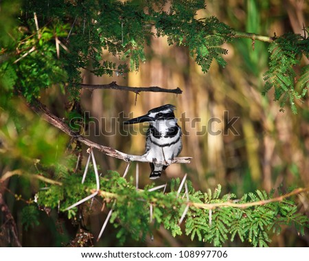 Pied Kingfisher in liwonde national park malawi - stock photo