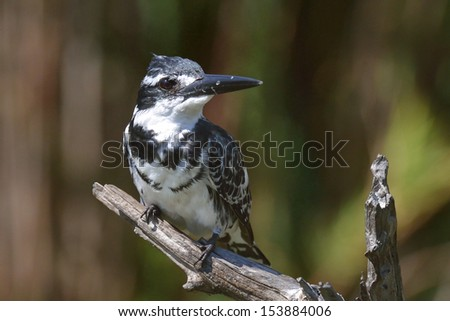 Pied Kingfisher on branch - stock photo