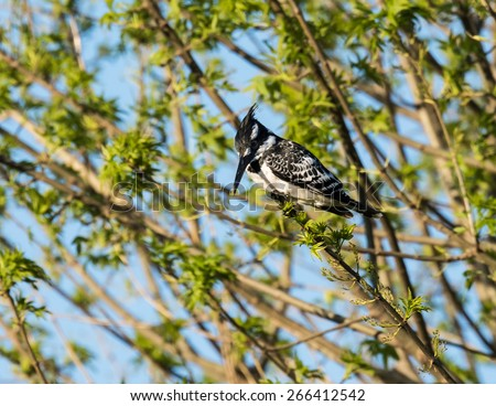Pied Kingfisher Perched on Tree - stock photo