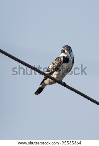 Pied Kingfisher resting on an artificial perch - stock photo