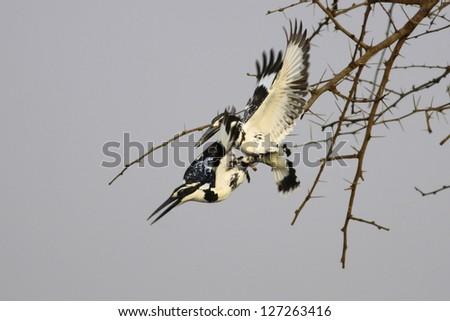 Pied Kingfishers indulging in mating game