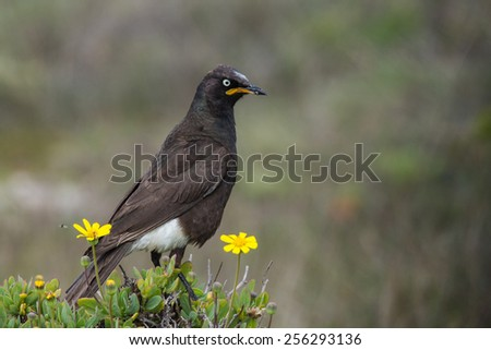 Pied starling, endemic bird of South Africa and Swaziland - stock photo