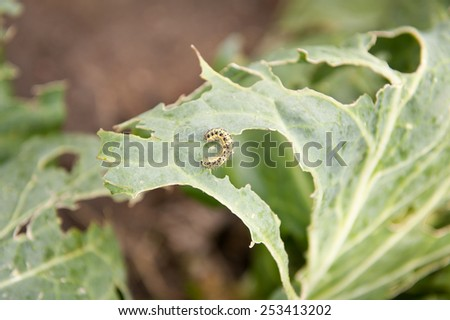 Pieris brassicae caterpillar pest eating leaf, critter called cabbage butterfly making hole in vegetable, cabbage white insect on cabbage leaf in horizontal, nobody. Polish name Bielinek kapustnik. - stock photo