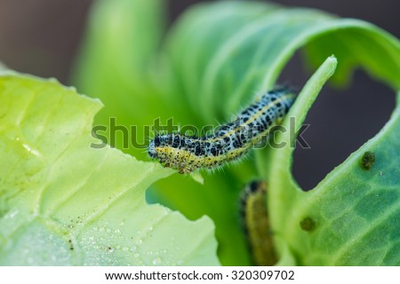 Pieris brassicae caterpillar pest eating leaf, critter called cabbage butterfly making hole in vegetable, cabbage white insect on cabbage leaf, Shallow depth of field, focus on caterpillar - stock photo