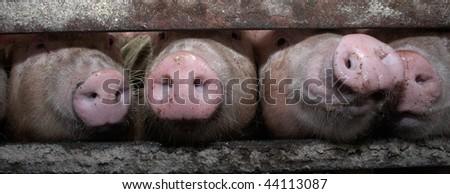 Pig - stock photo