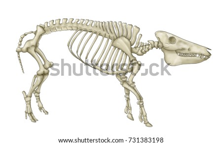 Pig Anatomy Skeleton Pig Stock Illustration 731383198 - Shutterstock