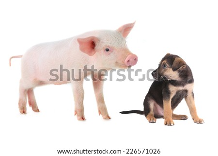 pig and dog on a white background. studio - stock photo