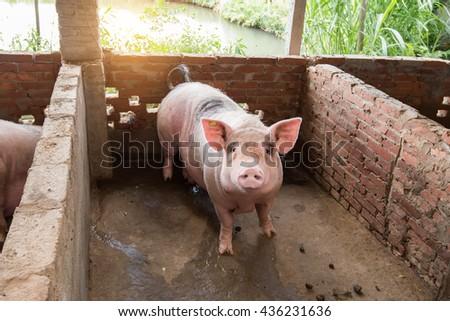 pig at farm - stock photo