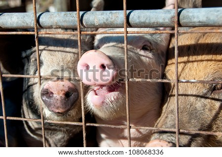 Pig biting the gate - stock photo