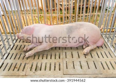 Pig breeder sleeping . - stock photo