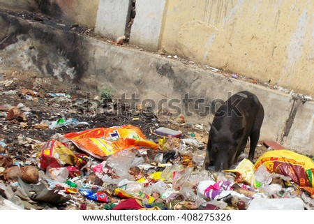 Pig eating in the garbage - stock photo