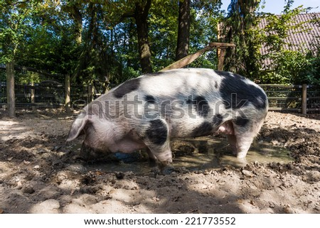 Pig in a mud. big pig standing in mud - stock photo