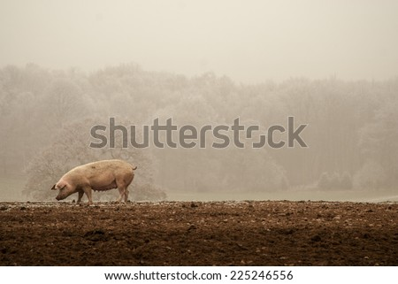 Pig in frost - stock photo