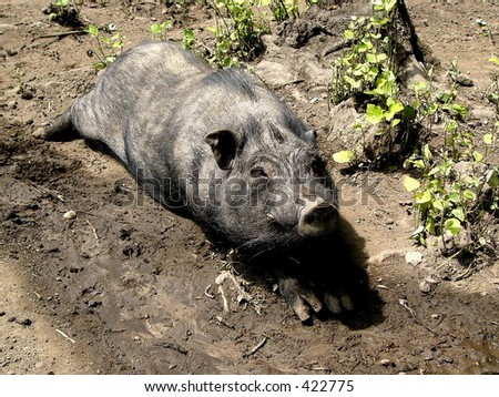 Pig in the mud - stock photo