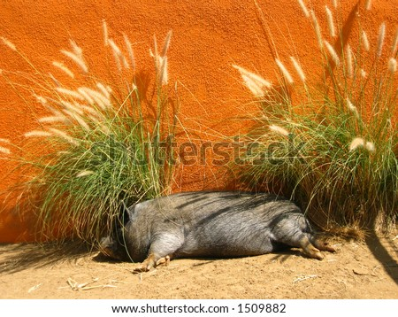 Pig Nap - stock photo