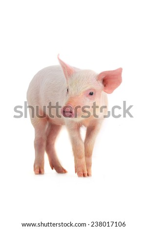 pig on a white background. studio - stock photo