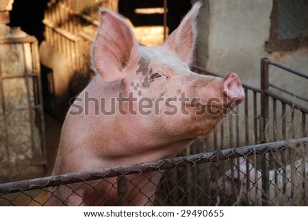 Pig on farm, dirty animal, pork face - stock photo