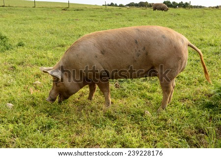 pig on green field, Cornwall, a free-range pig pasturing on a grass field in green Cornwall countryside  - stock photo