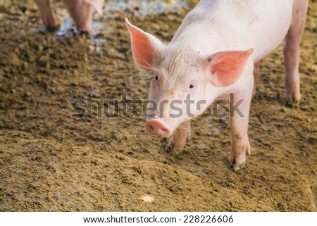 Pig on soil at pig breeding farm, looking camera - stock photo