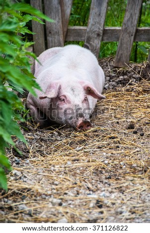 Pig relaxing in dirty straw