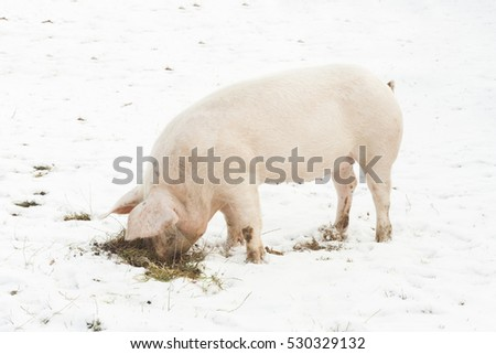 pig searching for food in the snow