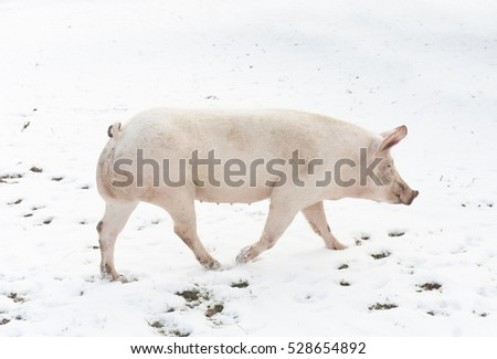 pig walking in winter snow