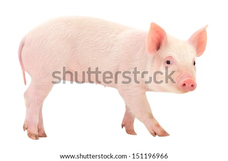 Pig who is isolated on a white background - stock photo
