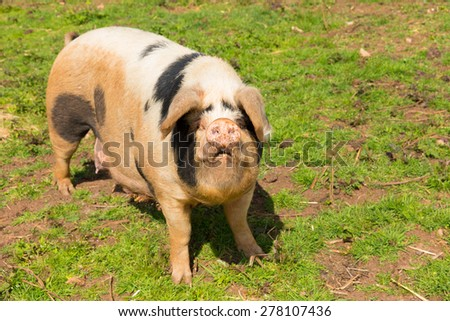 Pig with black spots looking to camera standing in a field - stock photo