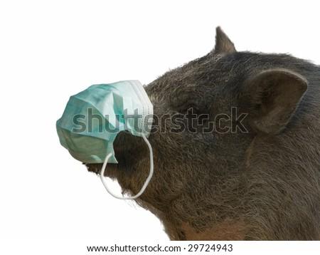 pig with blue gauze bandage isolated on white - stock photo