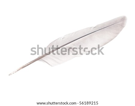 pigeon feather isolated on white background