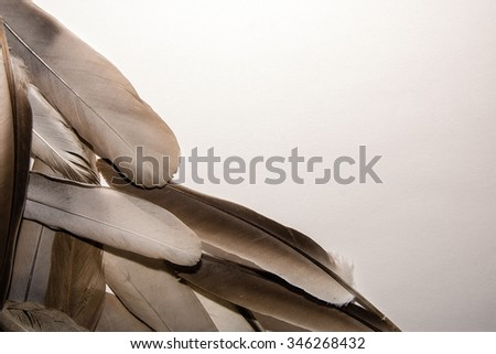 Pigeon feathers on the white background