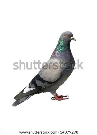 Pigeon. Grey pigeon - stock photo