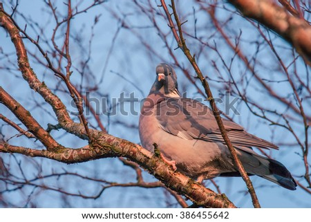 Pigeon in a tree with many branches in the winter - stock photo