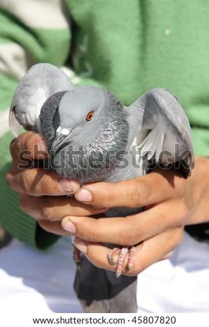 Pigeon in hands - stock photo