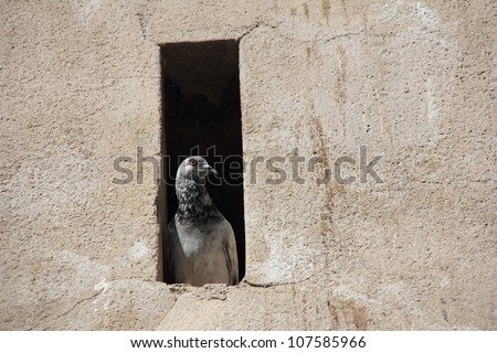 Pigeon in his hideout in the wall, quietly watching the street - stock photo