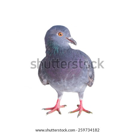 pigeon on a white background close up - stock photo