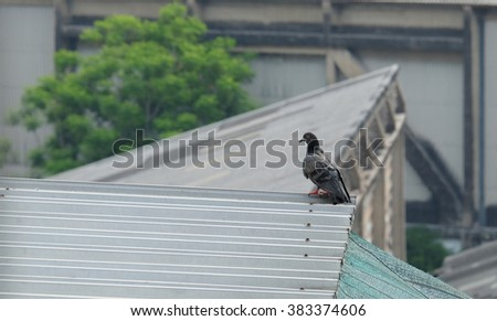 pigeon on roof in the city