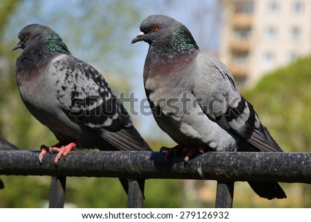 Pigeon outdoors - stock photo